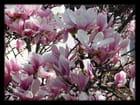 Vgx-Fleurs 5 - Fleurs de magnolia