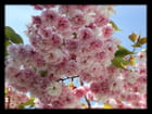 Vgx-Fleurs 8 - Fleurs de cerisier