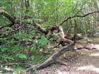 Vieux chêne mort