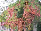 Vigne vierge à l'automne