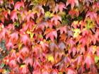 Vigne vierge en automne