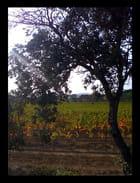 Vignes dans les Corbières