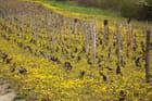 Vignes de printemps