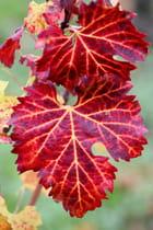 Vignobles à l'automne