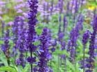 Violet des champs