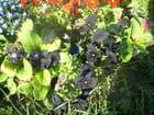Violettes noires