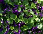 Violettes toulousaines