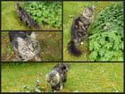 Visite de Macaron (chat des voisins) dans mon jardin