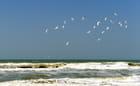 Vol de sternes au-dessus de l'Atlantique