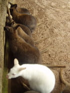 Wallaby blanc