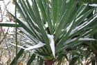 Yucca enneigé
