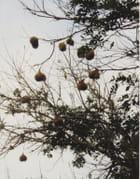 Z' oiseaux béliers et leurs nids s