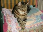 Zapata - chat européen