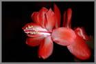Zygocactus rouge