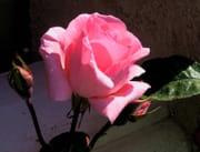 http://image-photos.linternaute.com/image_photo/180/roses-france-1043993476-1084965.jpg