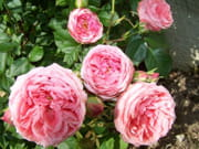 http://image-photos.linternaute.com/image_photo/180/roses-saulieu-france-7346917987-964323.jpg