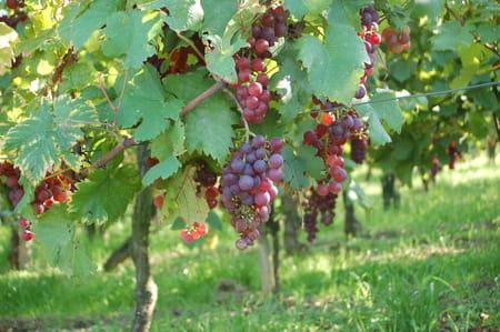Vignobles de l'Est de la France