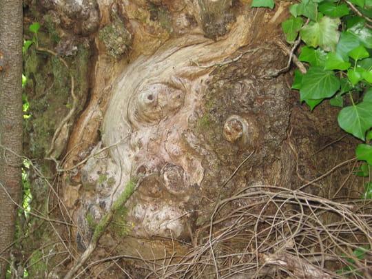 اشجار غريبة ومرعبة في العالم Trees, strange and terrifying in the world  Arbres-insolites-golinhac-france-1217659959-1093928