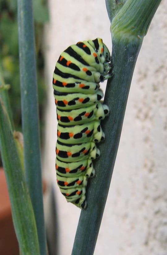 La dur e de vie du papillon - Duree de vie papillon de nuit ...