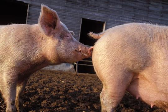 cochons-autres-animaux-de-ferme-rugles-france-6309930683-853517