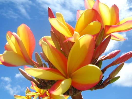 Présentation en quelques mots ... fleurs-exotiques-punaauia-polynesie-francaise-2111474872-724740