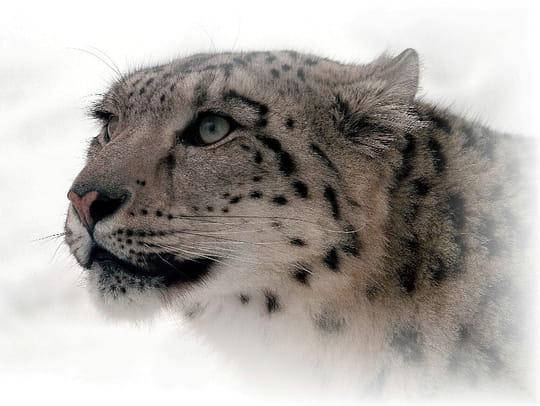 Animaux typiques/emblèmes - Canada Leopards-autres-animaux-autres-fauves-quebec-canada-9273950458-798120
