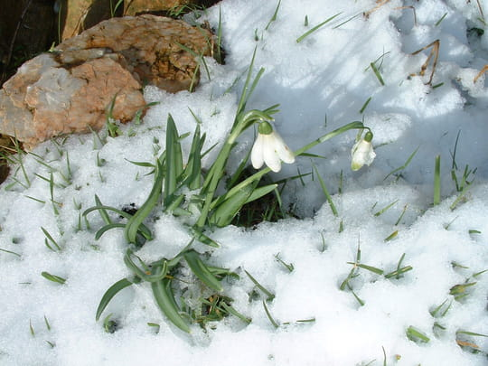 http://photos.linternaute.com/image_photo/540/perce-neige-la-tardiere-france-1198549220-1102367.jpg