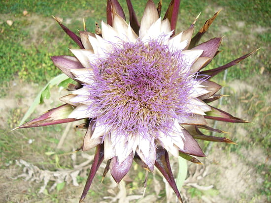 http://image-photos.linternaute.com/image_photo/550/artichauts-artichauts-provins-france-798456073-961470.jpg