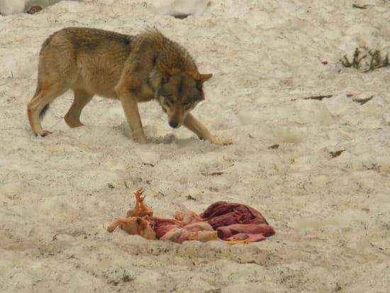 Le repas des loups - Une fois par jour les loups sont nourris de poulet et de boeuf, ils sont laissés un jour sans nourriture pour garder leur instinct de survie