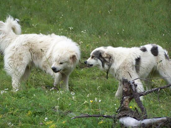 Qui sera le premier au casse-croûte ? - Patous un peu hargneux avant le partage d'un repas en pleine montagne, près du troupeau dont ils montaient la garde.