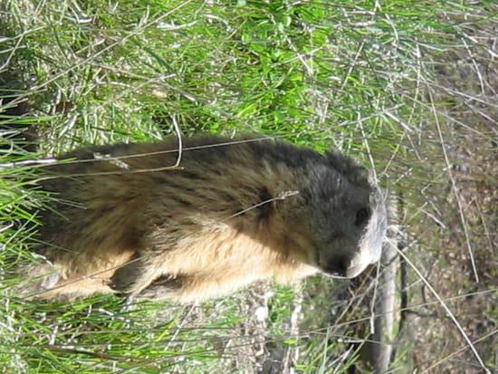 La marmotte - Aux aguets ! Elle veille sur sa famille