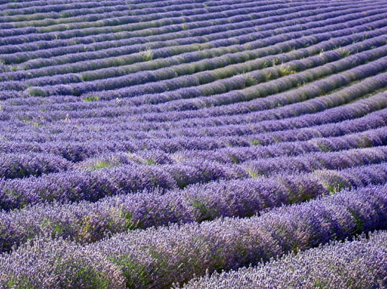 Lavendelvelden in de Drôme Provençale