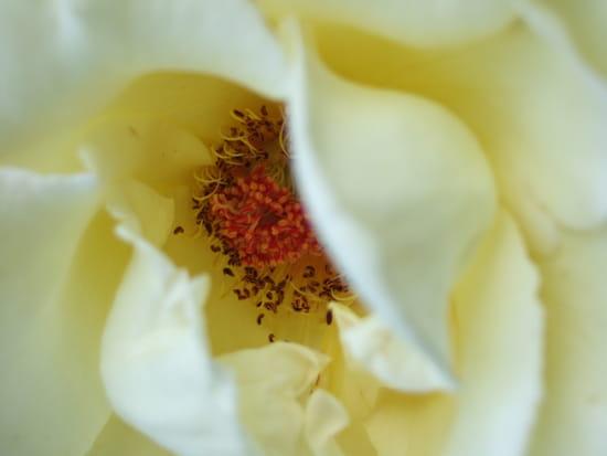 Rose blanche - Au coeur de la rose blanche