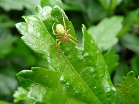 Araignée verte - Araignée verte tissant sa toile sur une feuille d'hibiscus