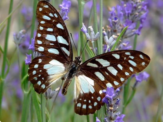 Visite du papillon - Papillon sur la lavande