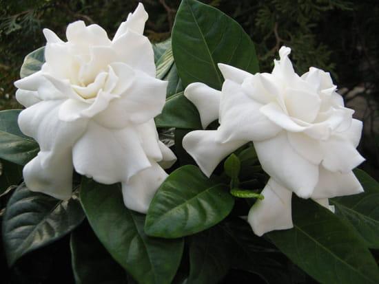 flowers language gardenias-bruxelles-belgique-1249711041-1099654.jpg