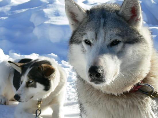 Animaux typiques/emblèmes - Canada Husky-autres-animaux-canada-814782978-707188