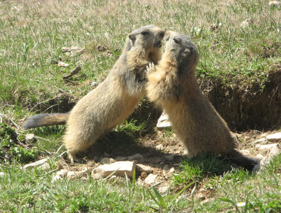 http://image-photos.linternaute.com/image_photo/550/marmottes-france-1095837665-1072465.jpg