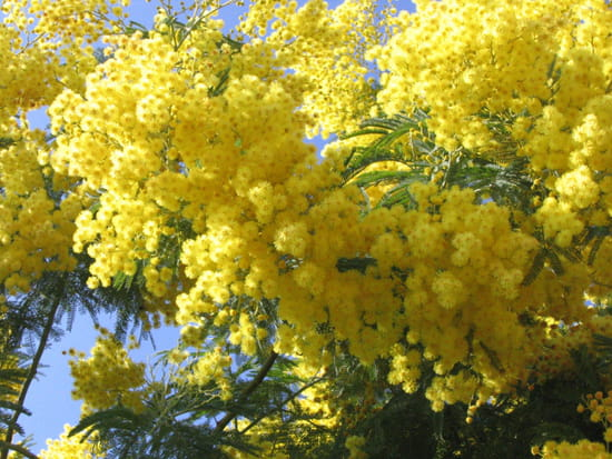 """Résultat de recherche d'images pour """"bisous mimosa"""""""