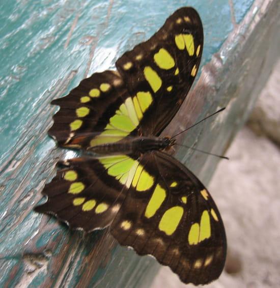 Papillon mexique