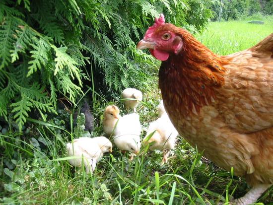 New 31 05 2012 la poule et ses poussins for Bien nourrir ses poules
