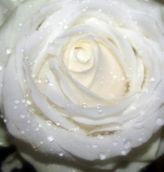 Cristalline - Rose blanche perlée de gouttes d'eau
