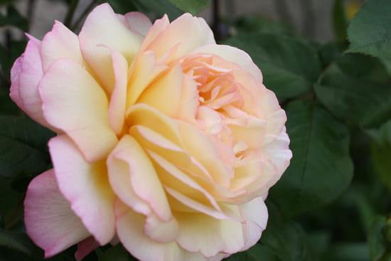 يوميات معجب Roses-taissy-france-5512658954-946981