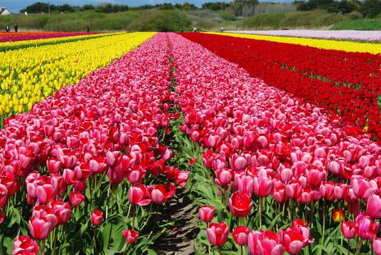 الى من علمني الحب Tulipes-france-1361379216-1328886