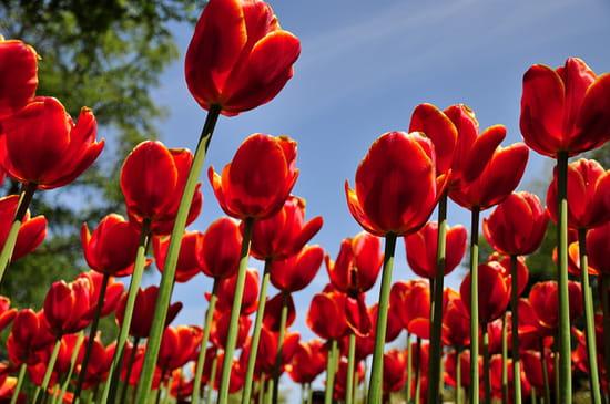 هلوسات ليلية Tulipes-pays-bas-1076737080-1309992