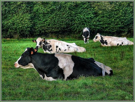 vaches-plouzevede-france-1269783903-1145298