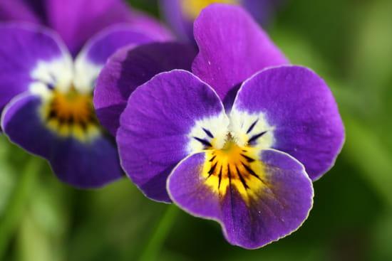fleur violette ou petite pens e bleu 50 graines seeds ebay. Black Bedroom Furniture Sets. Home Design Ideas