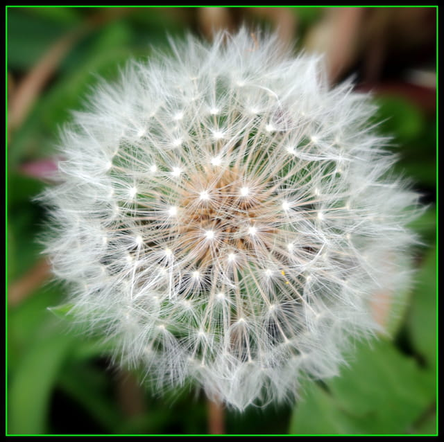 Fleur de pissenlit 1614629