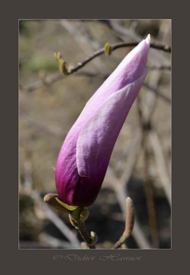 fleur de magnolia par didier hannot sur l 39 internaute. Black Bedroom Furniture Sets. Home Design Ideas
