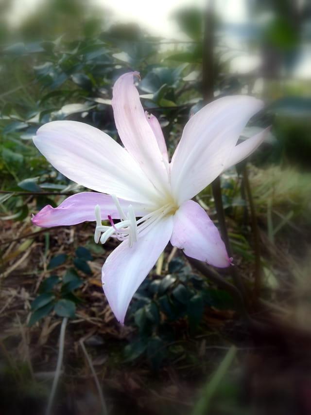 Amaryllis de jardin par malou troel sur l 39 internaute for Amaryllis exterieur